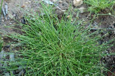 APII jpeg image of Isolepis subtilissima  © contact APII