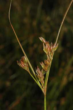 APII jpeg image of Juncus tenuis  © contact APII