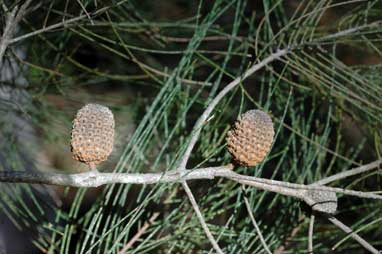 APII jpeg image of Allocasuarina inophloia  © contact APII