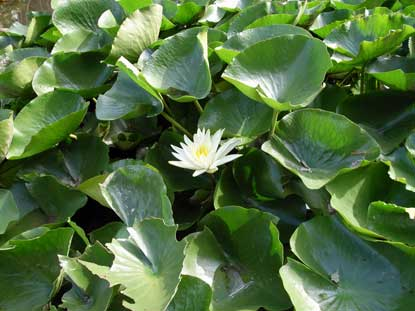 APII jpeg image of Nymphaea mexicana  © contact APII