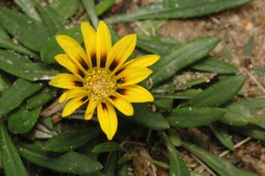 APII jpeg image of Gazania rigens  © contact APII