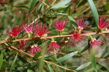APII jpeg image of Callistemon 'Candy Pink'  © contact APII