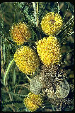 APII jpeg image of Banksia candolleana  © contact APII
