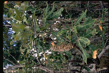 APII jpeg image of Banksia dentata  © contact APII