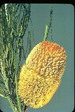 APII jpeg image of Banksia lullfitzii  © contact APII