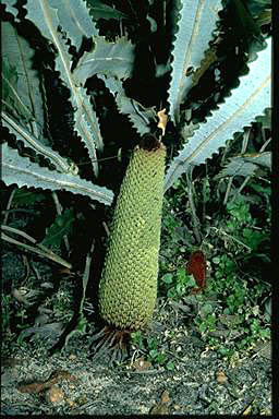 APII jpeg image of Banksia petiolaris  © contact APII