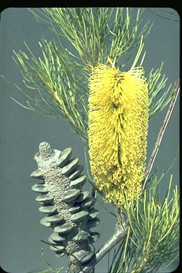 APII jpeg image of Banksia tricuspis  © contact APII