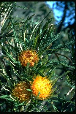 APII jpeg image of Banksia formosa  © contact APII