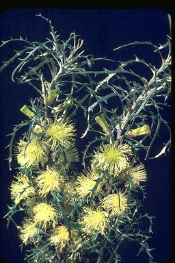 APII jpeg image of Dryandra hewardiana  © contact APII