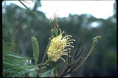 APII jpeg image of Grevillea banksii  © contact APII