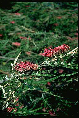 APII jpeg image of Grevillea caleyi  © contact APII