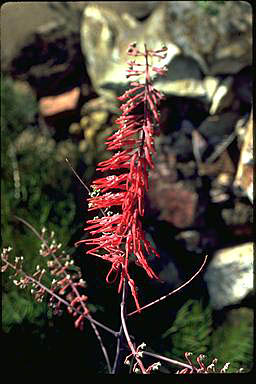 APII jpeg image of Grevillea dryandri  © contact APII