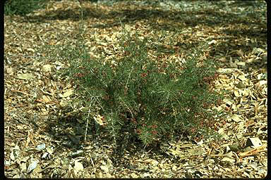APII jpeg image of Grevillea glabella  © contact APII