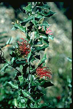 APII jpeg image of Grevillea infecunda  © contact APII