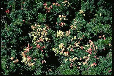 APII jpeg image of Grevillea lanigera  © contact APII