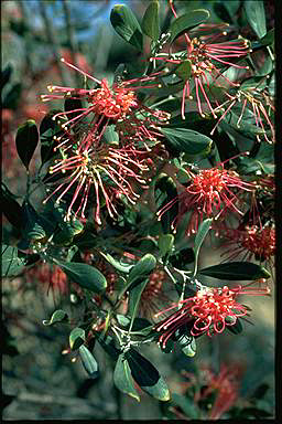 APII jpeg image of Grevillea olivacea  © contact APII