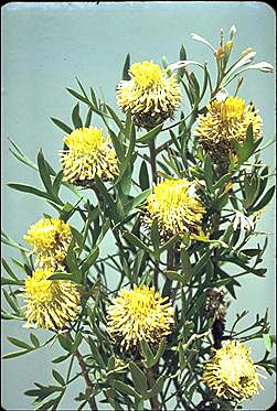 APII jpeg image of Isopogon tripartitus  © contact APII