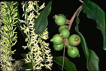 APII jpeg image of Macadamia integrifolia  © contact APII