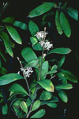 APII jpeg image of Hakea lasiantha  © contact APII