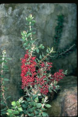 APII jpeg image of Hakea myrtoides  © contact APII