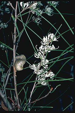 APII jpeg image of Hakea rostrata  © contact APII