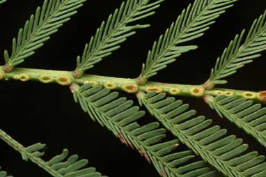 APII jpeg image of Acacia chrysotricha  © contact APII