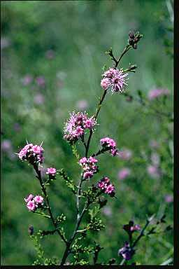 APII jpeg image of Kunzea obovata  © contact APII