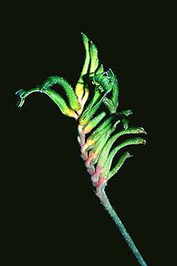 APII jpeg image of Anigozanthos bicolor  © contact APII