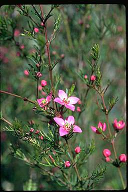 APII jpeg image of Boronia pulchella  © contact APII