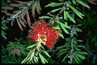 APII jpeg image of Callistemon montanus  © contact APII