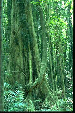 APII jpeg image of Dendrocnide excelsa  © contact APII