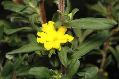 APII jpeg image of Hibbertia linearis  © contact APII