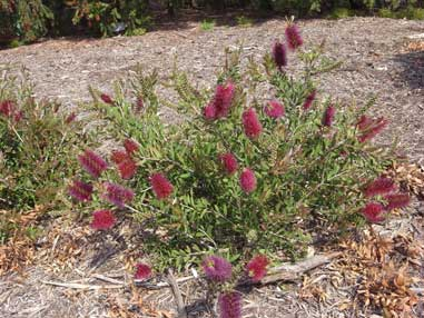APII jpeg image of Callistemon 'Burgundy'  © contact APII