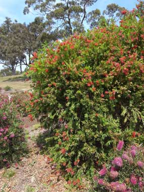 APII jpeg image of Callistemon 'Prolific'  © contact APII