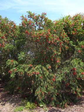 APII jpeg image of Callistemon viminalis 'Dawson River'  © contact APII