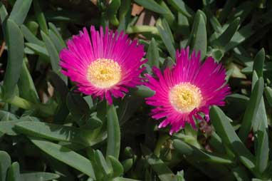 APII jpeg image of Carpobrotus glaucescens  © contact APII