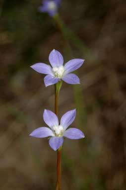 APII jpeg image of Wahlenbergia gracilis  © contact APII