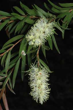 APII jpeg image of Callistemon shiressii  © contact APII