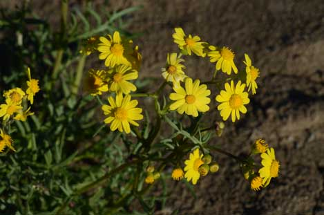 APII jpeg image of Senecio brigalowensis  © contact APII