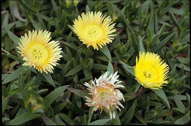 APII jpeg image of Carpobrotus tomentosa  © contact APII