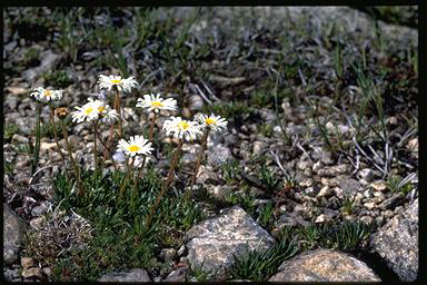 APII jpeg image of Brachyscome stolonifera  © contact APII