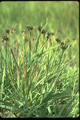 APII jpeg image of Juncus falcatus  © contact APII