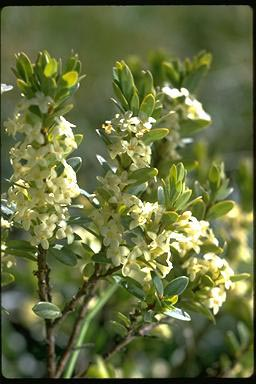 APII jpeg image of Pimelea axiflora  © contact APII