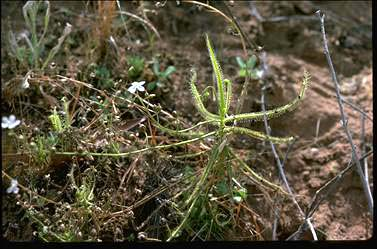 APII jpeg image of Byblis linifolia  © contact APII