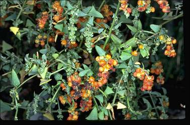 APII jpeg image of Einadia nutans subsp. nutans  © contact APII