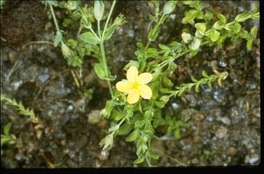 APII jpeg image of Hypericum japonicum  © contact APII