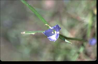 APII jpeg image of Commelina lanceolata  © contact APII