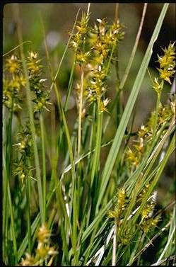 APII jpeg image of Carex echinata  © contact APII