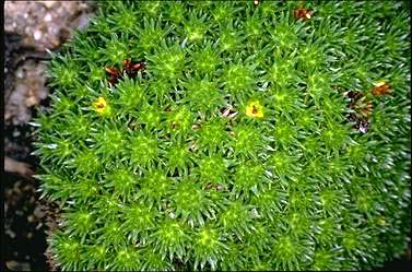 APII jpeg image of Dracophyllum minimum  © contact APII