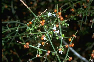 APII jpeg image of Spartothamnella juncea  © contact APII